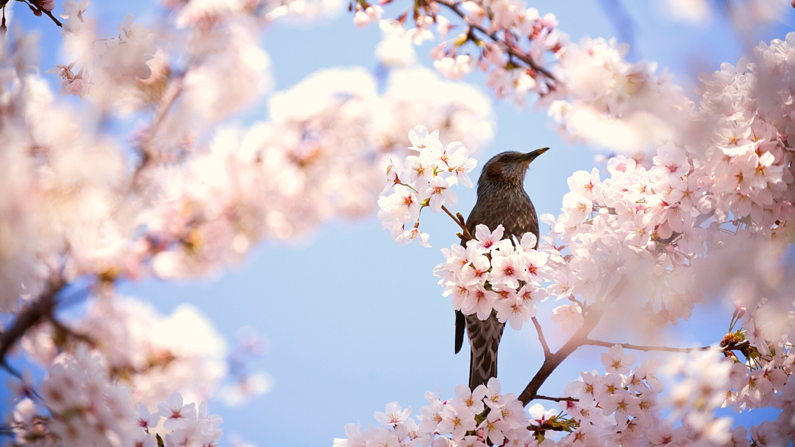 A photo of a small brown bird perched in the branches of a blossoming cherry tree against a pale blue sky.